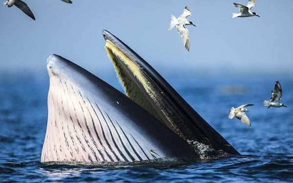 クジラを動かすオキアミのちから(クリルオイル)